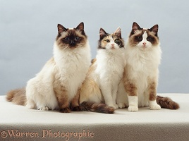 Tortoiseshell and two ragdoll cats