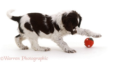 Spaniel puppy with a ball
