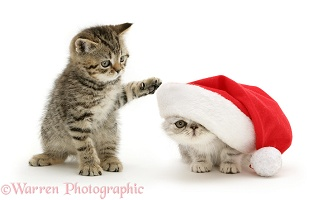 Kittens playing with Santa hat