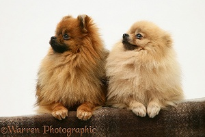 Two Pomeranians with paws over