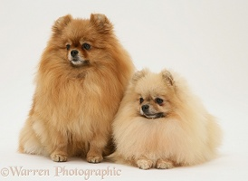 Two Pomeranians