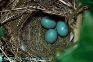 Dunnock nest with eggs