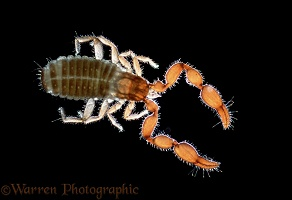False Scorpion