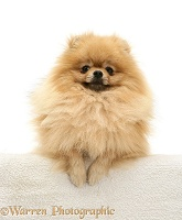 Pomeranian with paws over