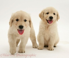 Two Golden Retriever pups