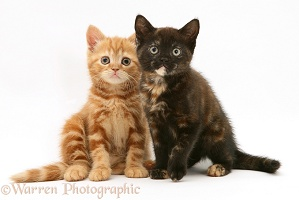 Ginger and chocolate-tortoiseshell kittens