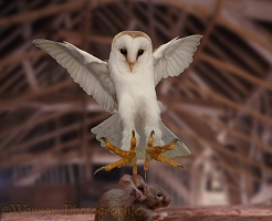 Barn Owl pouncing mouse