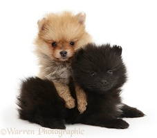 Two Pomeranian pups