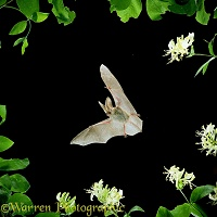 Long-eared Bat in flight