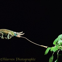 Jackson's Chameleon taking a fly