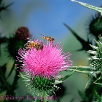 Honey Bee and Migrant Hoverfly