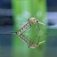 Mosquito on water surface