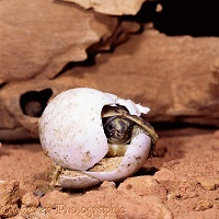 Spur-thighed Tortoise emerging from egg