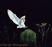 Barn Owl landing on tombstone