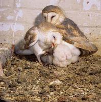 Barn Owls in nest