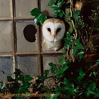 Barn Owl looking through broken window