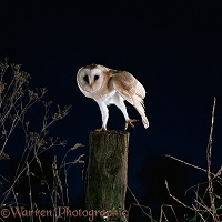 Barn Owl stretching
