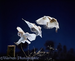 Barn Owl landing multiple exposure
