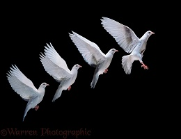 White dove in flight multiple exposure