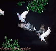Domestic Pigeon in flight multiple exposure