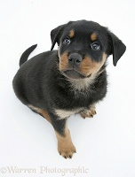 Rottweiler pup looking up