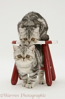 Silver tabby Exotic kittens and child's stool
