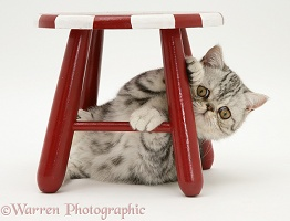 Silver Exotic cat under a stool