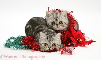 Silver tabby Exotic kittens with Christmas tinsel