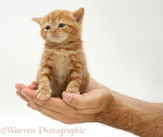 Red tabby kitten in a man's hands