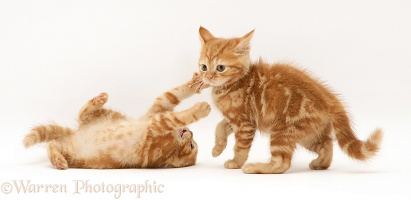 Ginger kittens playing
