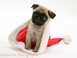 Pug pup in Santa hat
