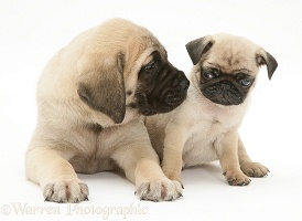 Fawn Pug pup with fawn English Mastiff pup