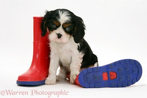 King Charles pup and wellies