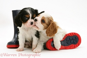 King Charles pups and wellies