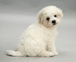 Cute Bichon Frise puppy on grey background