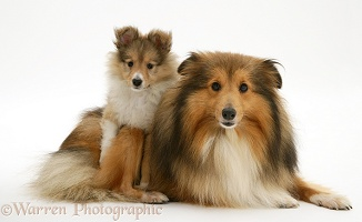 Sable Shetland Sheepdog (Sheltie) and pup