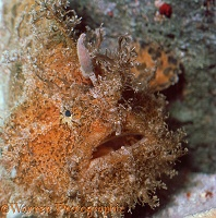 Whiskery or Split-lure Frogfish