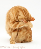 Red tabby British Shorthair cat washing her face