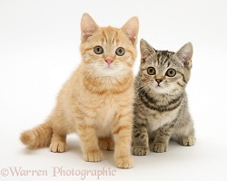 Cream and brown spotted kittens