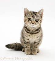 Brown spotted tabby kitten, sitting