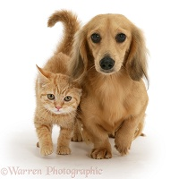 Ginger kitten with cream dapple Dachshund pup