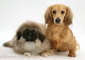 Pekingese pup and cream dapple Dachshund pup