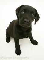 Black Labrador Retriever pup, 8 weeks old