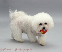 Bichon Frise with a ball