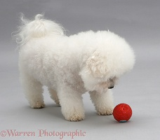 Bichon Frise with a red ball