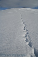 Animal track in snow
