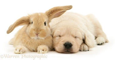 Baby sandy Lop rabbit with sleepy Golden Retriever pup