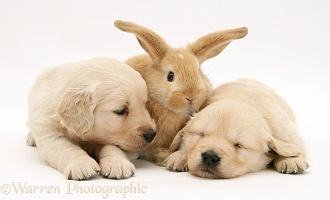 Baby sandy Lop rabbit with sleepy Golden Retriever pups