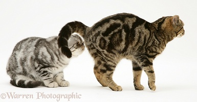 Exotic cat sniffing tabby cat's bottom