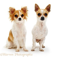 Long-haired and smooth-haired Chihuahuas